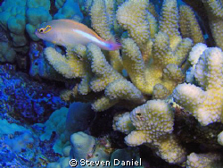 Unknown fish sitting on coral by Steven Daniel